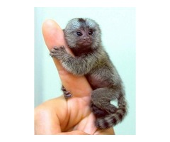 Monos bien entrenados y bebés chimpancés para la venta