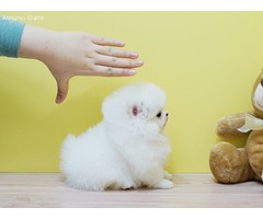 Adorables cachorros de Pomerania disponibles