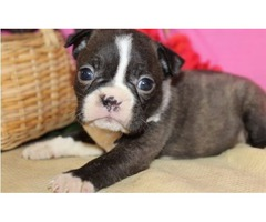 gorgeous boston tierre puppy for sale