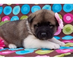 Beautiful Akita puppies for new adoption