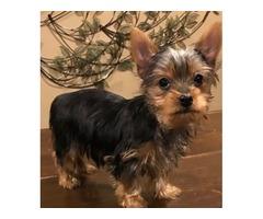 Lindo preciosa yorkshire terrier cachorros toy