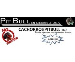 CACHORROS PITBUL BLUE