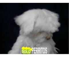 criadero solo perritos bichon  maltes de bolsillo