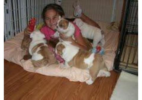 Cachorros de Bulldog Inglés para adopción