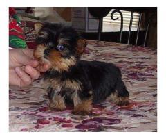 Yorkies Terrier Cachorros  para adopción