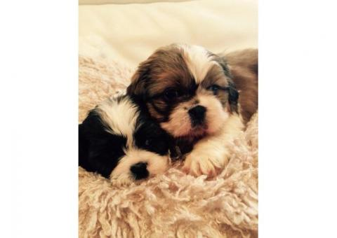 Adorable Shih-tzu Cachorros