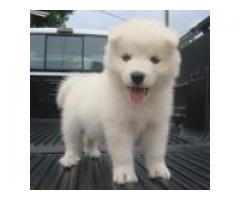 Los cachorros husky siberiano lindo y adorable disponibles para la adopción