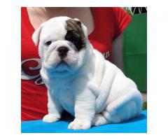 Bulldog inglés hembra para la adopción lindo macho y