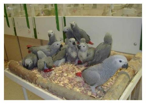 Loros, avestruz, pollitos y huevos fértiles para la venta