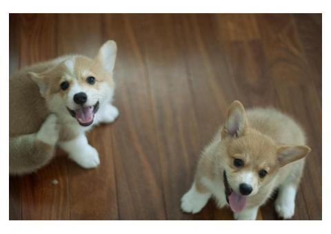 Cachorros Adorables del Corgi galés del Pembroke Marrón y Blanco