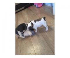 Preciosos cachorros de bulldog francés en venta
