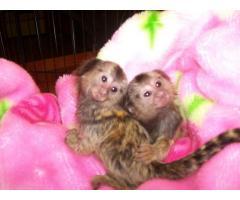 bebés mono y bebés chimpancés