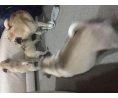 Etokolo Rolex leonado y cachorros Pug marrones de Kascco y Dascco