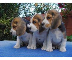 Beagles tricolores y bicolores