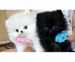 Christmas Teacup Pomeranian Puppies For Sale