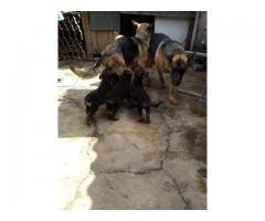 venta cachorros pastor aleman