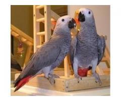 Un par de loros africanos hablando gris 1