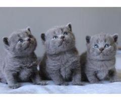 rhhhPreciosos gatitos de british shorthair pura raza