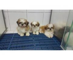 Shih tzu cachorros para su adopción