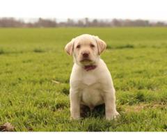 Muy hermosos y animados cachorros de labrador retriever para adopción gratuita.