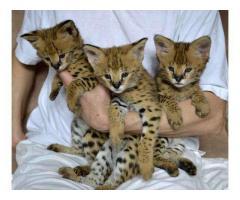 Hermosa y adorable Savannah gatitos disponibles.