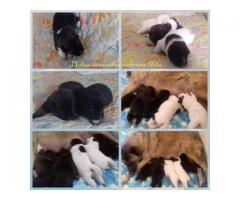 Akitas cachorros en venta