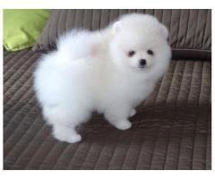 Hermosos cachorros Pomeranian disponibles