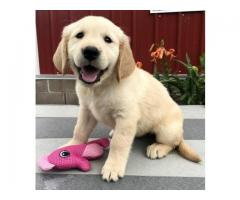 Golden Retriever puppies to sale.