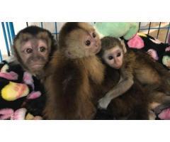 Lindo mono capuchino para adopción