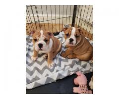 Regalo hermosos cachorros de raza Bulldog Mini