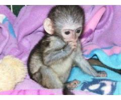 Monos capuchinos bebé socializados para la venta