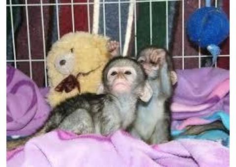 Lindos Monos capuchinos bebé socializados para la venta