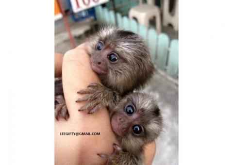 Dos Mono tití de dedo socializado a la venta ahora