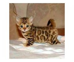 Regalo gatito de bengala
