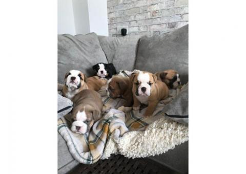 Hermosos cachorros de Bulldog Inglés para un buen hogar