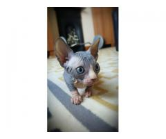 Impresionate gatos sphynx