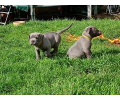 Staffordshire Bull Terrier azul reg