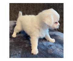 Chihuahua de pelo largo blanco espo