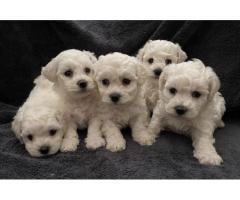 Impresionantes cachorros Kc Reg Bichon**