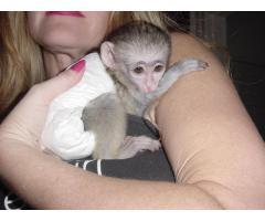 Monos chimpancé, capuchino, ardilla, araña y tití disponibles
