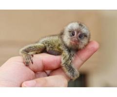 Monos capuchinos bebés bien entrenados disponibles