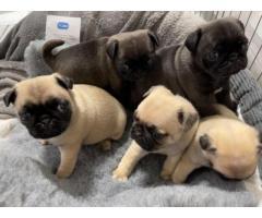 cachorros de pug registrados en Kc a la venta