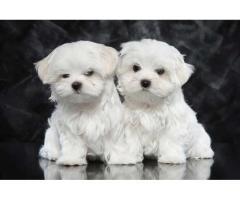 cachorros malteses de taza de té registrados en Kc listos ahora