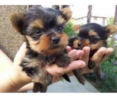 Cachorros Yorkie machos y hembras  en venta