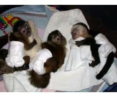 Bebés de mono y bebés de chimpancés