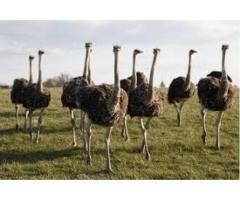 Avestruz huevos Emu huevos nandus y sus polluelos