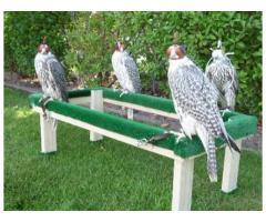 Halcones peregrinos, gyr, halcones saker y sus huevos