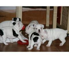 bulldog francés masculino y femenino para su adopción