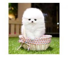 Hermosos cachorros Pomeranian disponibles.