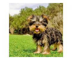 Adorable Yorkshire terrier cachorros disponibles